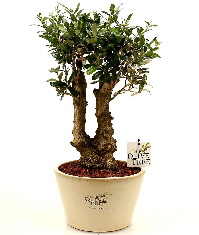 עץ זית ננסי