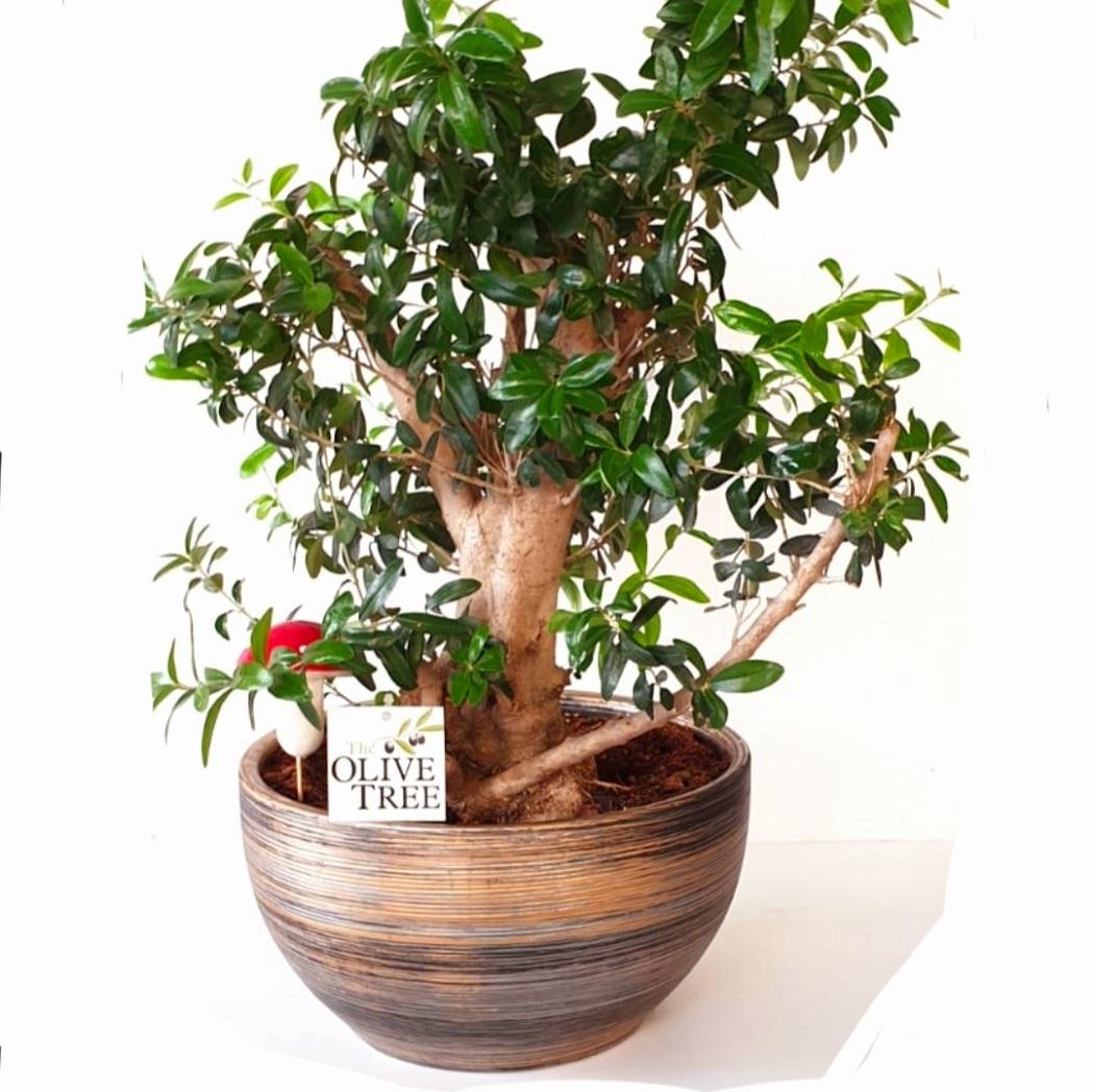 עץ זית ננסי בונסאי